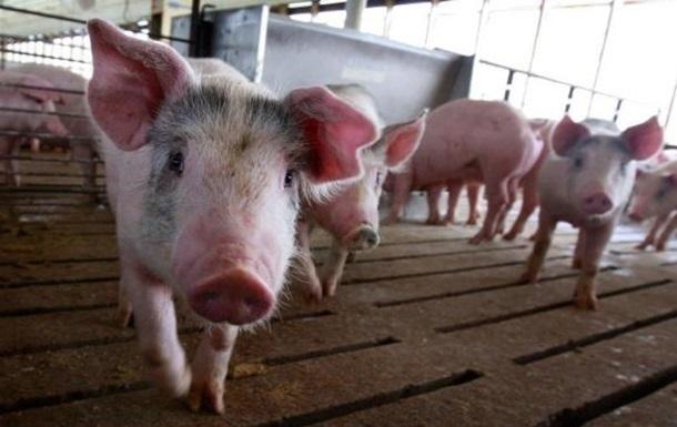 Свиньи могут пользоваться инструментами – ученые