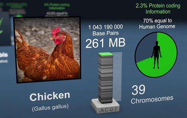 На 70% вы – курица: в сети показали видео о генах
